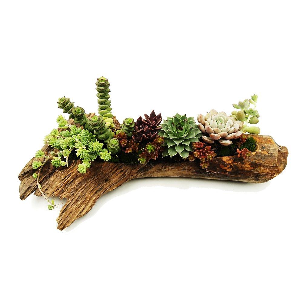 Succulent Plants Pot Cactus Plant Pot Flower Pot Container Planter Bonsai Pots Pine Tree Root Wood Pot Micro-Landscape Plant Pot Plant not Included …