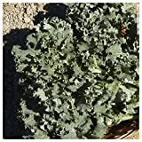 Everwilde Farms - 1 Lb Siberian Dwarf Kale Seeds - Gold Vault