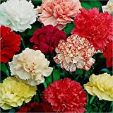 (150 seeds) Dianthus Caryophyllus Giant Chabaud / Carnation / Clove Pink