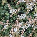 Sedum Spanish Stonecrop Succulent Seeds (Sedum Hispanicum) 50+Seeds