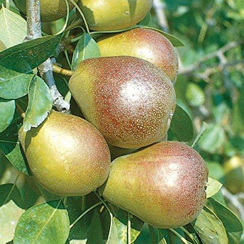 Seckel Pears - 1 Starter Plant of Seckel Pear Tree