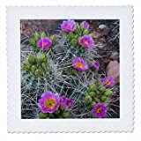 3dRose Danita Delimont - Cactus - Usa, Utah, Arches NP. Whipples Fishhook Cactus blooming and with buds. - 18x18 inch quilt square (qs_260304_7)