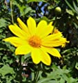 25 YELLOW TORCH MEXICAN SUNFLOWER Tithonia Speciosa Flower Seeds *Comb S/H