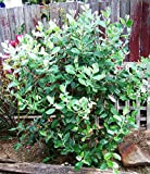 Pineapple Guava Aka Feijoa Sellowiana Live Plant Fit 1 Gallon Pot