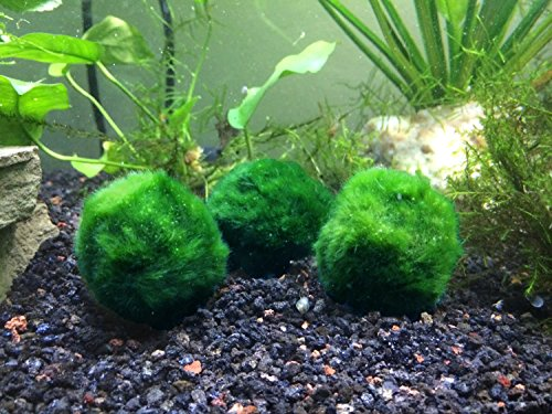 5 B Grade Giant Marimo Moss Balls by Aquatic Arts