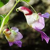 Ncient 100 semi sementi di orchidea faccia di beb orchid for Semi orchidea
