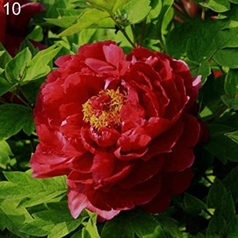 Semillas Plantas 20Pcs Varias Semillas de la Planta de Peonía Balcón Jardín Bonsai Flor Home Office Decor - 10# Semillas Peony: Amazon.es: Deportes y aire libre