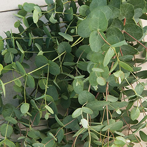 Garland Fresh (David's Garden Seeds Flower Eucalyptus Silver Drop SL1500A (Green) 50 Open Pollinated Seeds)
