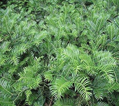 Amazoncom Spreading Japanese Plum Yew Live Plant Trade Gallon
