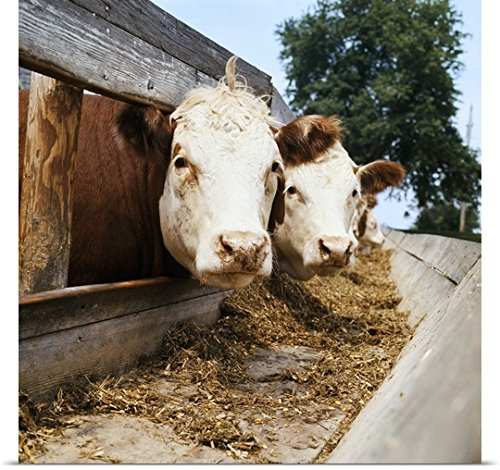 Great BIG Canvas Poster Print entitled Livestock, Whitefa...