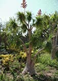 TROPICA - Nolina recurvata (Nolina recurvarta syn. Beaucarnea) - 10 semi - resistente inverno