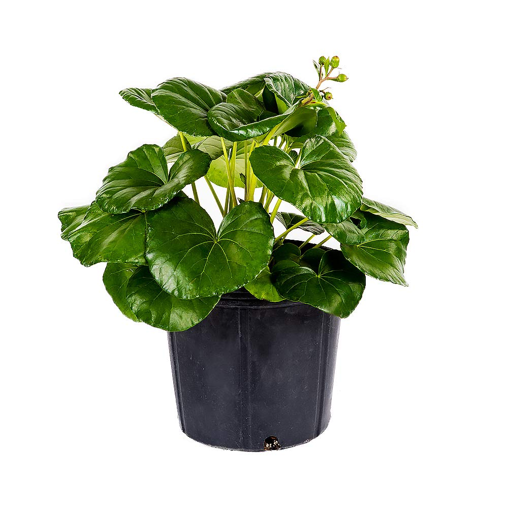 AMERICAN PLANT EXCHANGE Farfugium Tractor Seat Giant Leopard Live Plant, 3 Gallon, Indoor/Outdoor Air Purifier!
