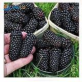 100 nutritious Pre-Stratified Jumbo Thornless Blackberry Seeds juicy sweet healthy fruit DIY Home Garden Fruit Seeds
