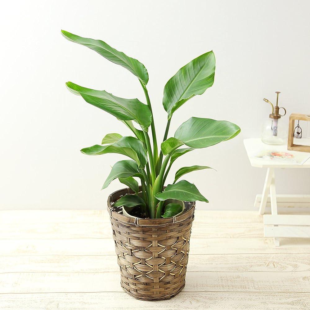 空虚クラッチ寝室charm(チャーム) (食虫植物)ハエトリソウ 3号(1ポット)