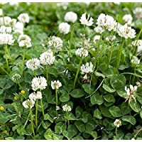 Organic Seeds: Clover Seed, Dutch Clover (5 lb. Pack), Approx. 4 ion Seeds by Farmerly