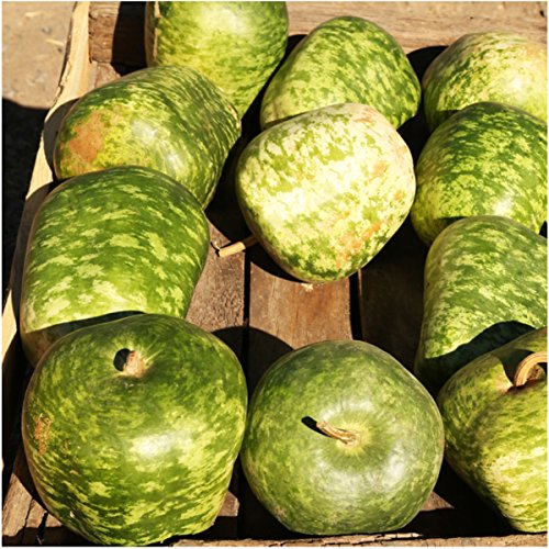 Package of 45 Seeds, Apple Gourd (Lagenaria siceraria) Non-GMO Seeds by Seed - Seeds Gourd