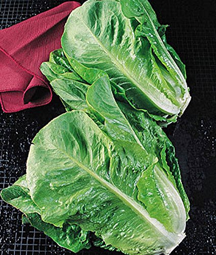 Lettuce, Parris Island Romaine Lettuce Seeds, Organic, NON-GMO, 50+ seeds per package, Healthy Hearty , A great addtion to any salad.