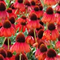 Firebird Echinacea Seeds (Echinacea paradoxa) 50+ Rare Heirloom Flower Seeds in FROZEN SEED CAPSULES for the Gardener & Rare Seeds Collector - Plant Seeds Now or Save Seeds for Years