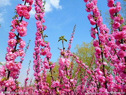 Prunus triloba seed, Rehmannia glutinosa, Potted planting, Flowering Plum Tree Flower Seeds, flowering plants 12 PCS g34 ()