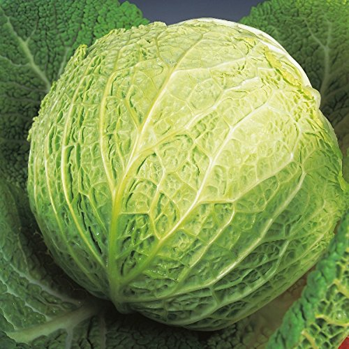 Cabbage Savoy - Best of All - 500 Seeds, used for sale  Delivered anywhere in USA
