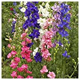 Everwilde Farms - 1/4 Lb Rocket Larkspur Mix Wildflower Seeds - Gold Vault