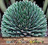 (20) Agave victoriae-reginae - Queen Victoria agave, royal agave Seeds