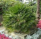 10 Seeds Chamaerops Humilis Mediterranean Fan Palm