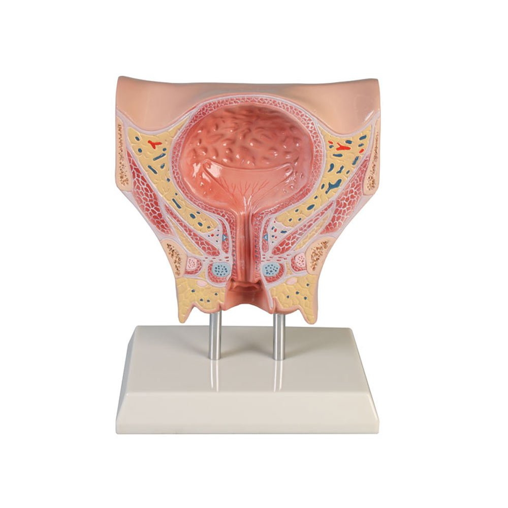 Erler Zimmer Blasenmodell, weiblich, Blase, Harnröhre, Urologie ...