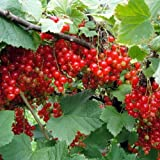 "Red Perfection Currant Bush - Large Berries - 4"" Pot"