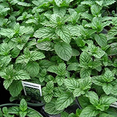 "Clovers Garden Peppermint Mint Herb Plants- Non GMO- Two (2) Live Plants - Not Seeds -Each 4""-7""tall- in 3.5 Inch Pots"