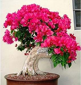 20 Mezcla de color semillas de flores de plantas Semillas Bougainvillea spectabilis Willd bonsai plantas florecientes plantas Semillas De Flores