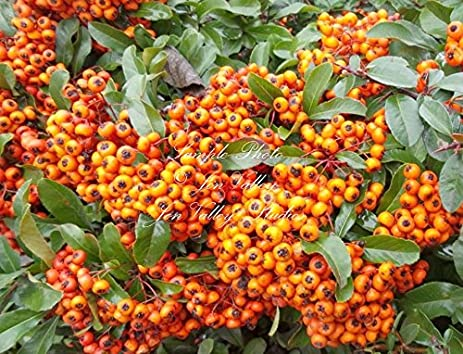 Amazon pyracantha coccinea tree 15 seeds firethorn tree seeds pyracantha coccinea tree 15 seeds firethorn tree seeds white flower red berries great for bonsai or mightylinksfo
