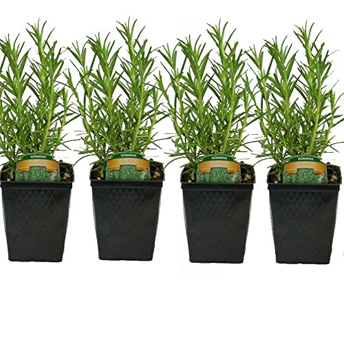 Stargazer Perennials Rosemary Herb Plants Set of 4 Grown Organic Potted - Non-GMO by Stargazer Perennials