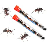 Live Ant Farm Ants Shipped Now: Ant Farm Kit Refill: DOUBLE ORDER
