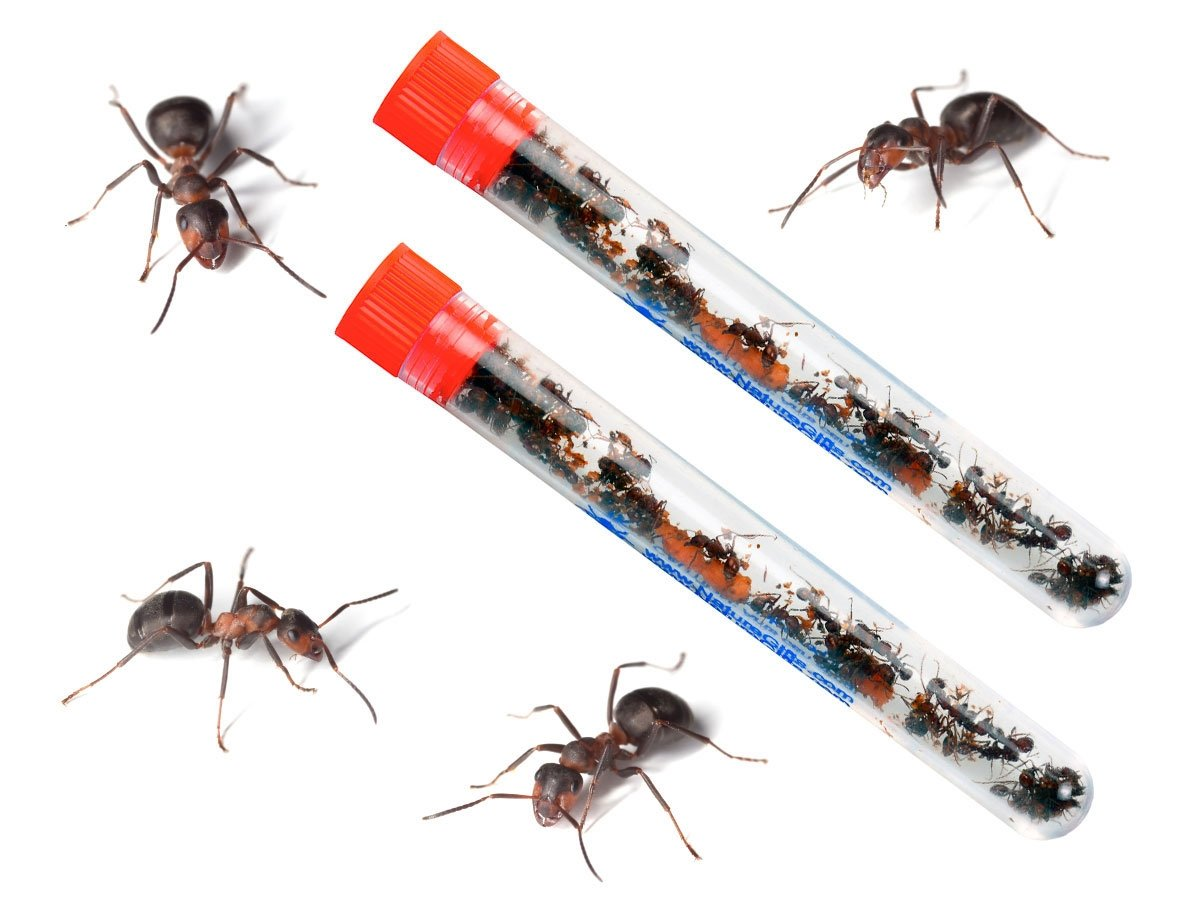 Live 2 Connectable Ant Farms Shipped with 50 Live Ants Now (2 Tube of Ants) Gift for Kids by Nature Gift Store