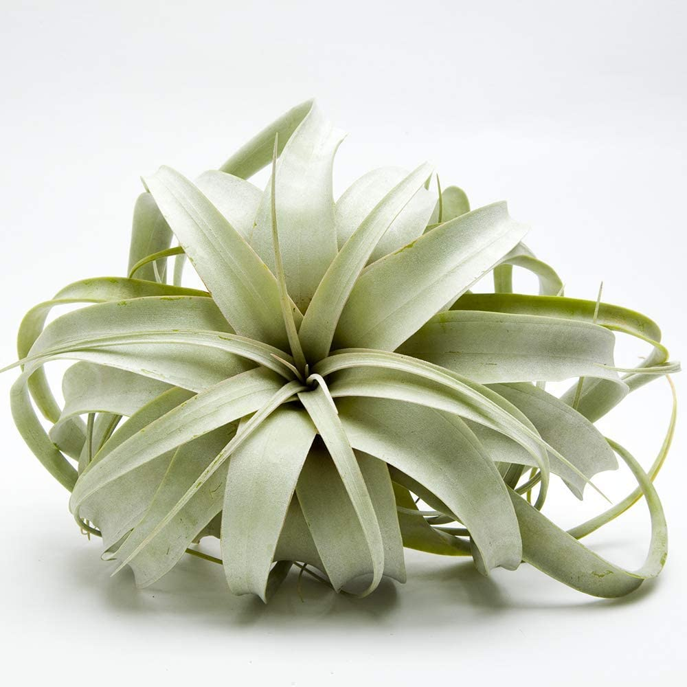 """Airplant Tillandsia Xerographica 5-6"""" Wide/Ships from California/Greenhouse Grown/Top Quality Guaranteed"""