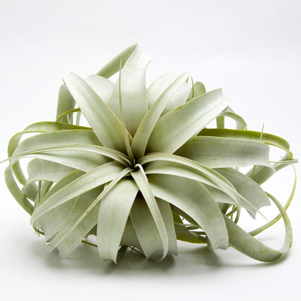"Airplant Tillandsia Xerographica 5-6"" Wide by Garden in the City / Ships from California / Greenhouse Grown"