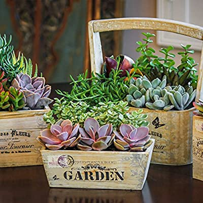 Altman Plants Assorted Live Mini All Time Favorites Beginner Succulents Collection Home Decor Easy Gardening Indoor Outdoor, 2.5