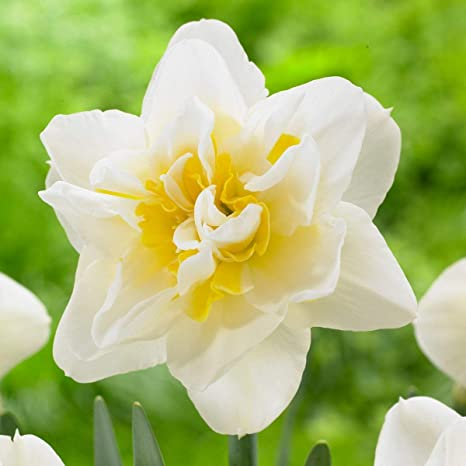 Amazon 25 white daffodil bulb can bloom in winter carved 25 white daffodil bulb can bloom in winter carved treasure flowers home garden marvelous mightylinksfo