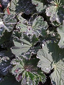 500 Samen Seed Gelbgrüner Frauenmantel  Heilpflanze Alchemilla xanthochlora