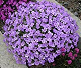 NEW! 50+ AUBRIETA VIOLET QUEEN ROCK CRESS FLOWER SEEDS / PERENNIAL / DEER RESISTANT