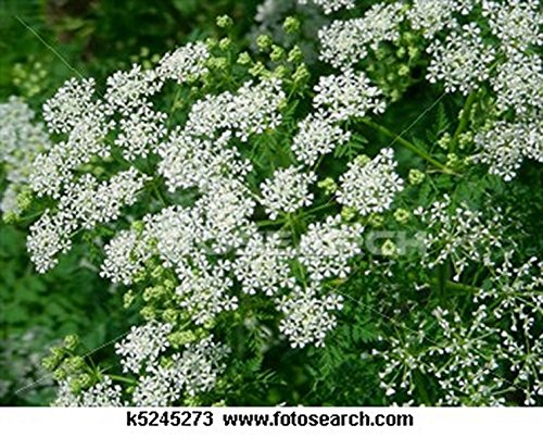 Queen Anne's Lace- 500 Seeds ()
