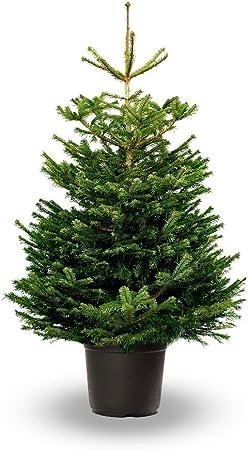 Árbol de Navidad Natural - Altura aprox. 125/150cm. - Abies ...