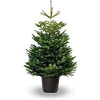 Árbol de Navidad Natural - Altura aprox. 125/150cm. - Abies Nordmanniana - Planta viva