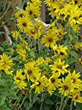 1 oz Seeds (Approx 7000 Seeds) of Helianthus mollis, Downy Sunflower