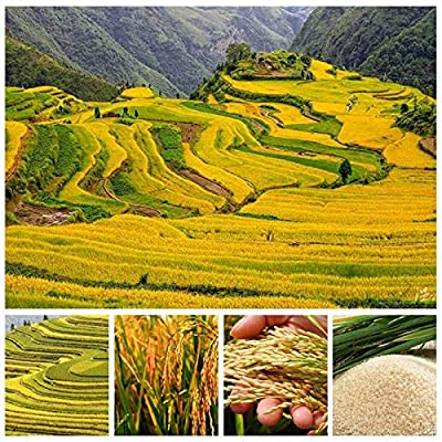 Konato - 1000 PCS Natural Golden Rice Plant Non-GMO Heirloom High Disease Resistancehigh Yield Crop Paddy for Home Garden - (Color: 300 pcs-Paddy) : Garden & Outdoor