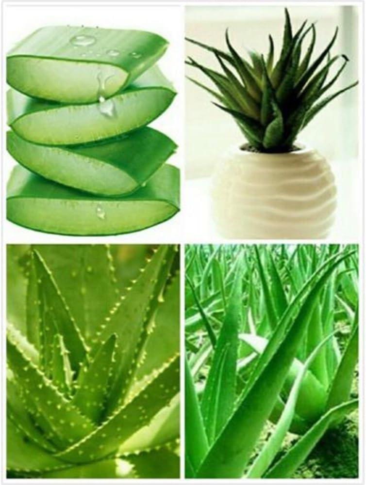 100Seed Aloe Vera Seeds Edible Succulent Plants Rare Herbal Medicinal Vegetable