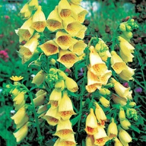 (50+ Yellow Foxglove Digitalis Flower Seeds / Deer Resistant Perennial)