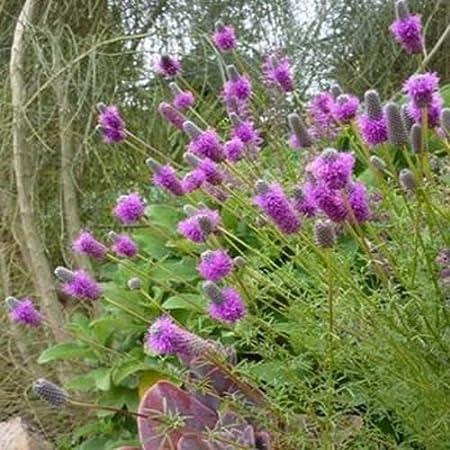 Purple Prairie Clover Dalea Purpureal 300 seeds
