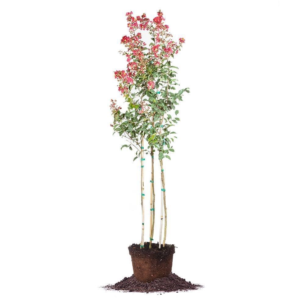 Arapaho Crape Myrtle - Size: 4-5 ft, Live Plant, Includes Special Blend Fertilizer & Planting Guide